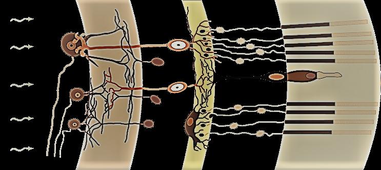 photorezeptoren im auge